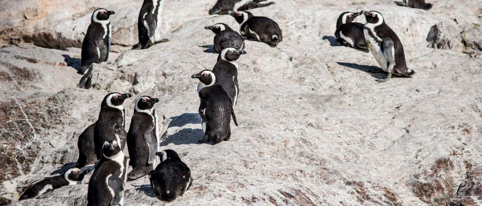 A colony of penguins is seen on St. Croix island in Algoa Bay outside Port Elizabeth, on July 08, 2020. - Nestled half-way along the European-Asian sea route, the bay's deep-water port was a strategically obvious choice for South Africa's first offshore bunkering operation, which started in 2016. Conservationists have voiced concern about ships fuelling at sea in a marine biodiversity hotspot that attracts thousands of foreign tourists per year. (Photo by MARCO LONGARI / AFP) (Photo by MARCO LONGARI/AFP via Getty Images)