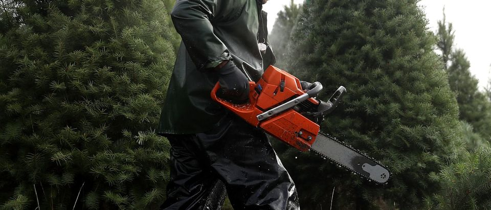 MONROE, OR - NOVEMBER 18: Workers use chainsaws to cut down Douglas Fir Christmas trees at the Holiday Tree Farms on November 18, 2017 in Monroe, Oregon. The Christmas tree harvest is underway at Holiday Tree Farms, the biggest grower of holiday trees in the United States, as workers harvest and ship an estimated one million trees ahead of the Christmas holiday. (Photo by Justin Sullivan/Getty Images)